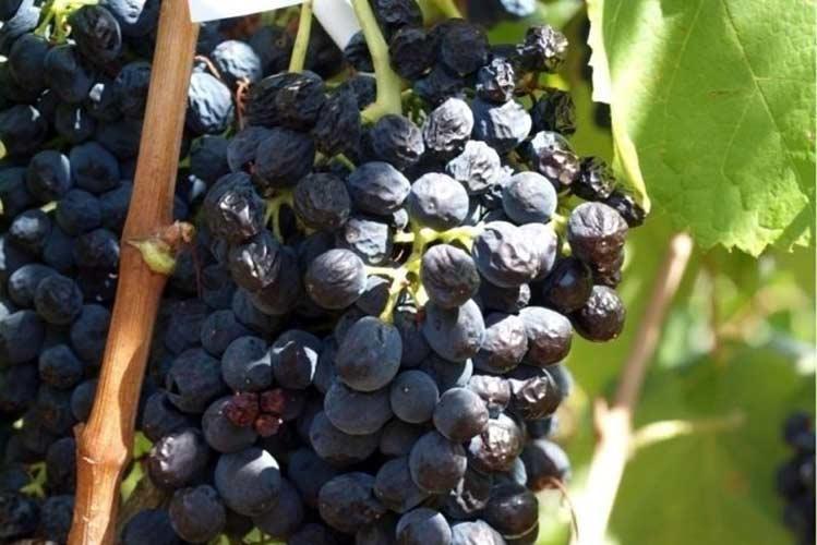 Как изменение климата меняет виноградарство?