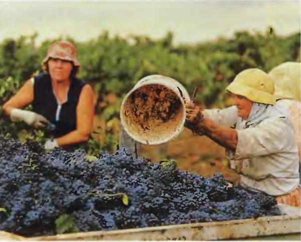 сбор винограда в Австралии